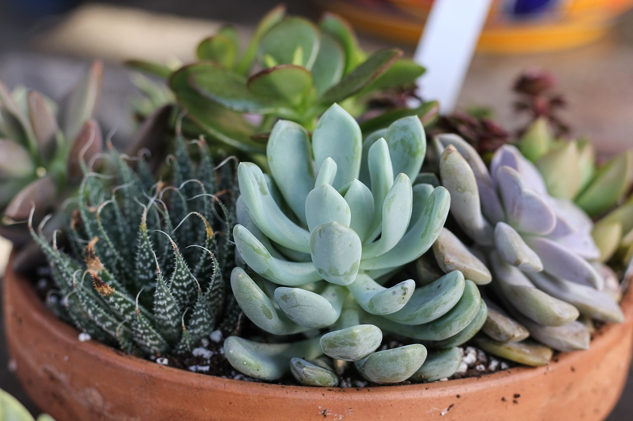 Important tips about growing succulents